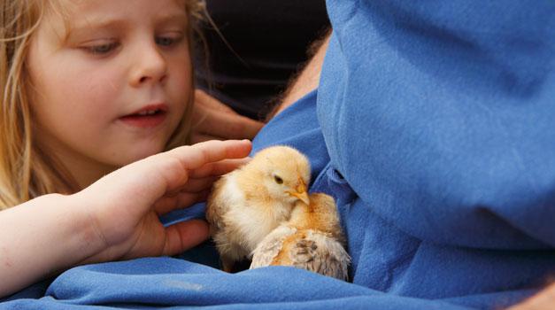 Jonge Dieren Roter Hahn